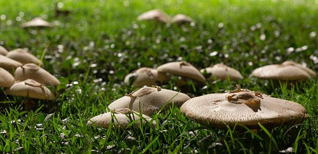 Yard Fungus